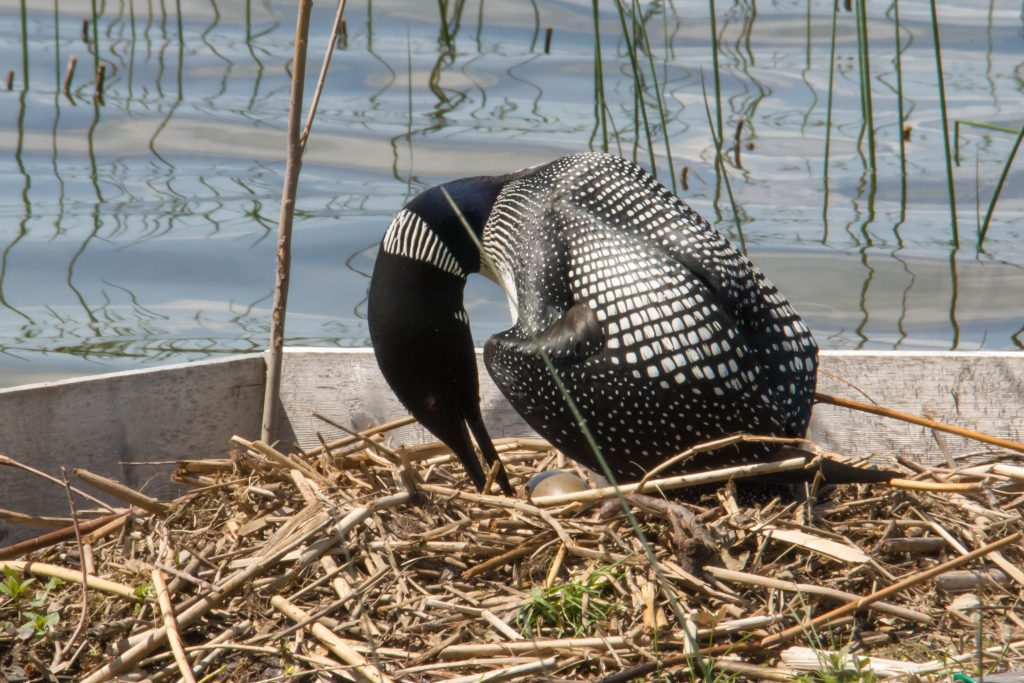 Loon turning eggs on nest
