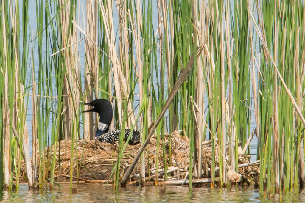 Common Loon nest